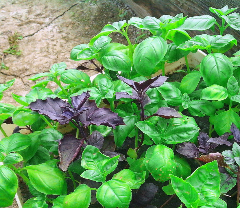 does basil repel mosquitoes