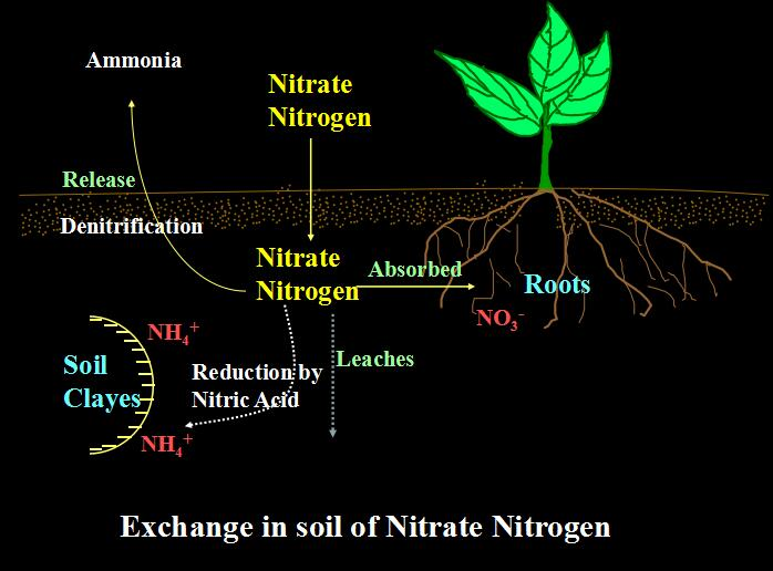 What is ammonia nitrogen
