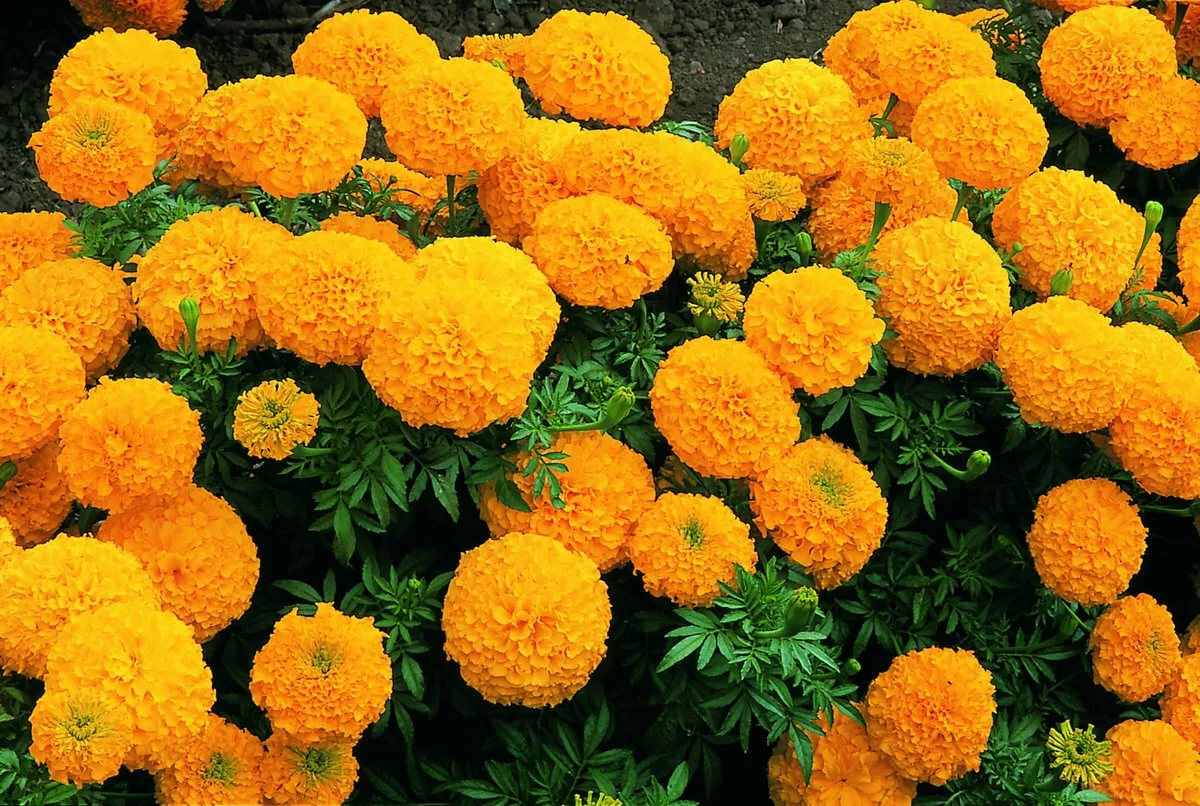 marigold repel mosquitoes
