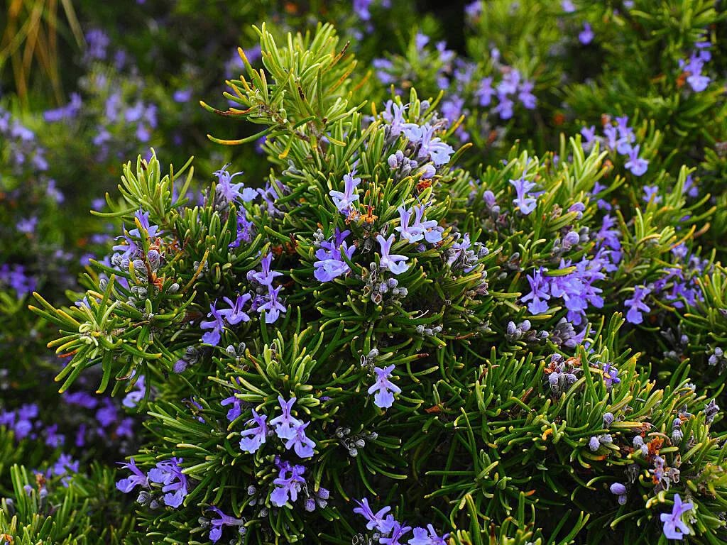 rosemary repel mosquitoes
