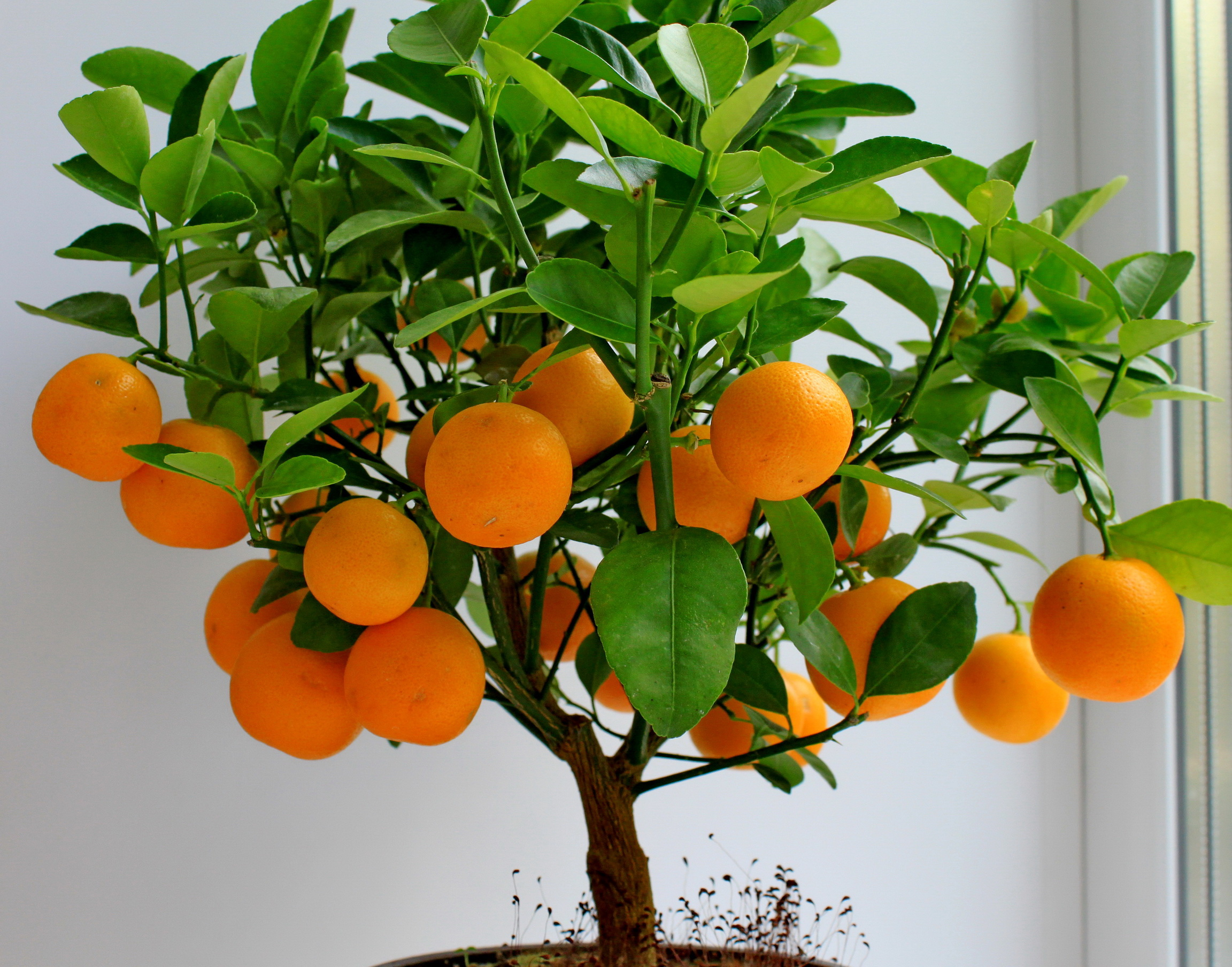 Orange Tree Care – Features, useful tips, how to grow etc.