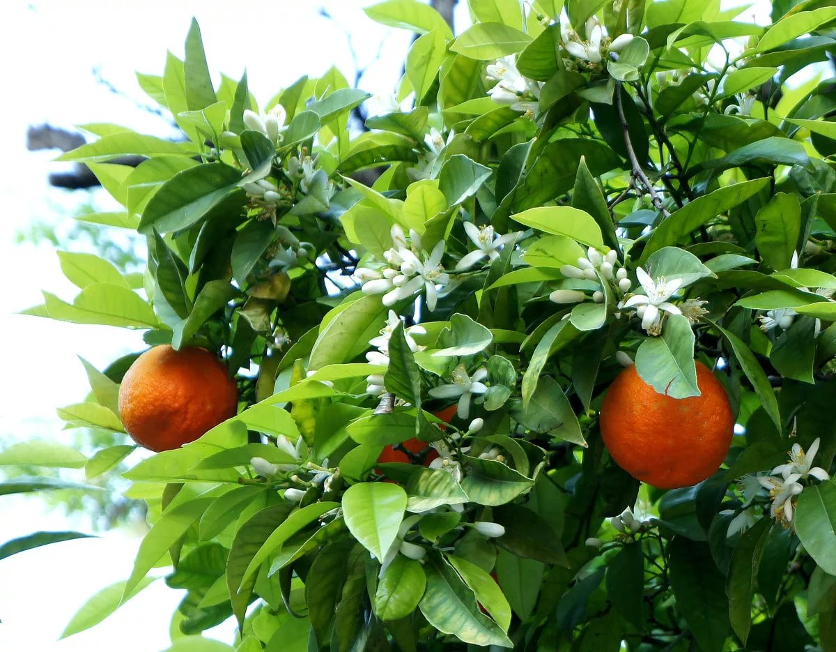 Tips for orange tree plant care