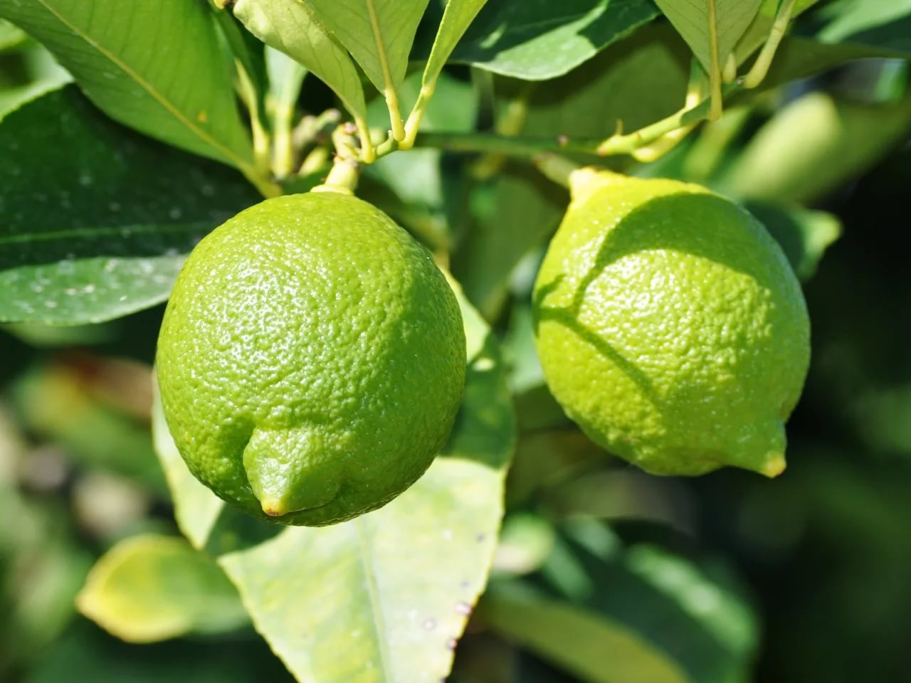 Green Lemons – ripe or not? Green lemon or lime? How to store and other useful information.