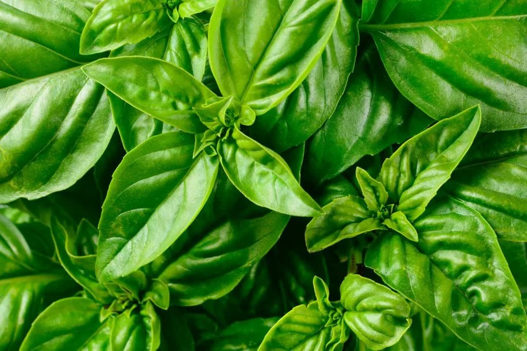 How to grow basil from cuttings and how to lose weight with it? We suggest viewing the step-by-step method and know about it's useful properties