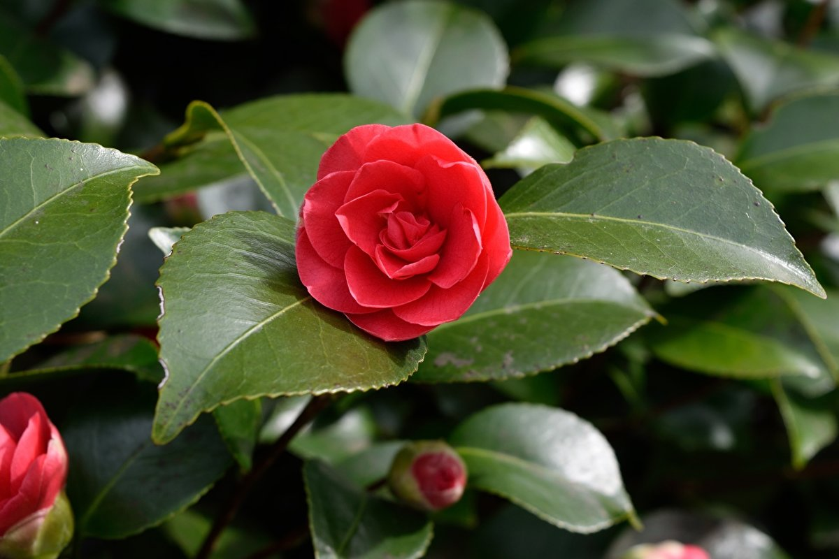 Alabama state flower – Camellia. Camellia flowers gardening – care, pruning, exciting photos