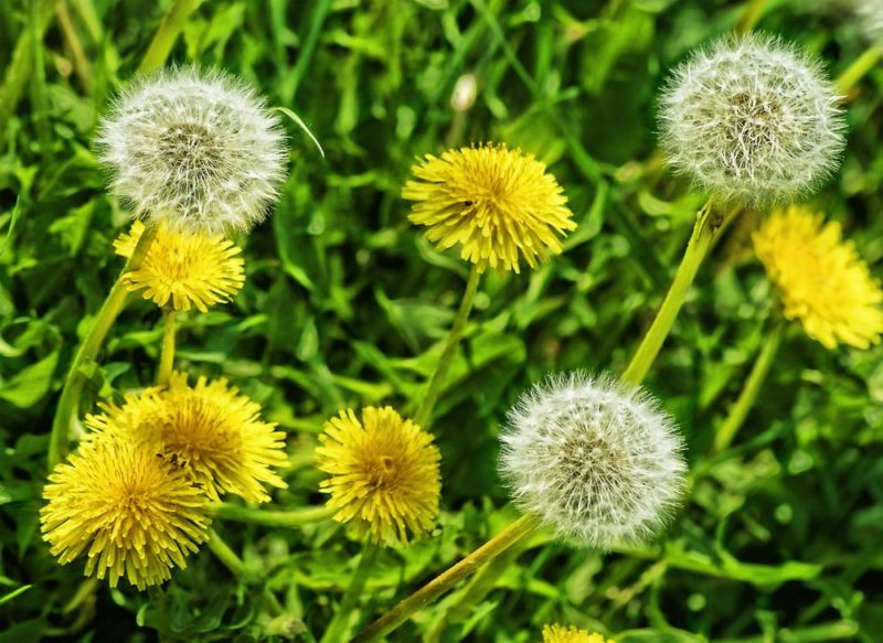 Wish flower or Dandelion – Flower with Secrets