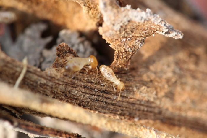 Termites in garden. How to get rid of them?
