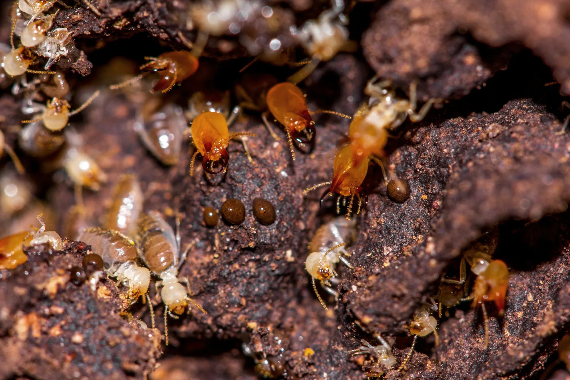 can termites come back after treatment