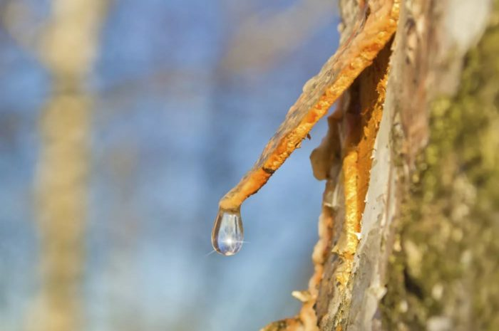 What is tree sap, what does it contain?